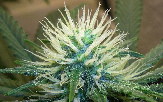 WIKI-Cannabis5