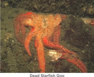 Dead_Starfish_Goo
