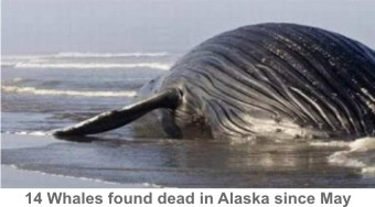 Alaska-Dead_Whales